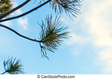 Pine Branch Against the Blue Sky