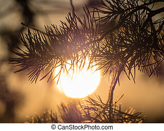 pine branch against the evening sun
