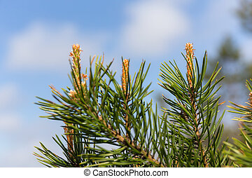 pine branch against the sky