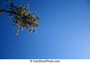 Pine Branch and Sky