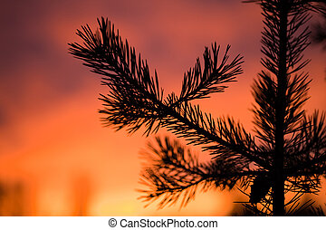 Pine branch at sunset