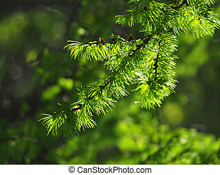 Pine branch close-up at the sun