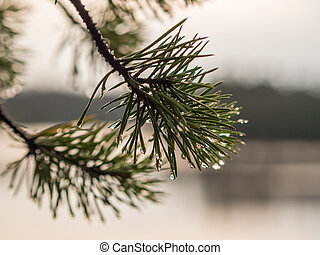 pine branch close up