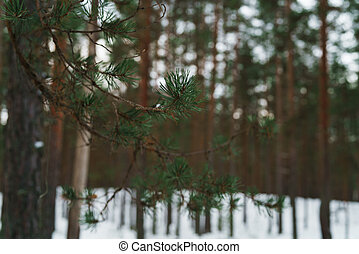 pine branch closeup in winter forest