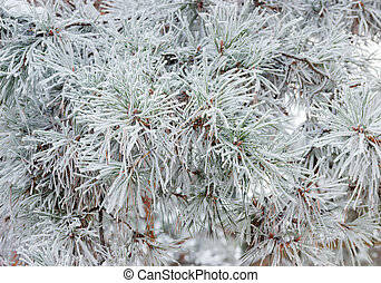 Pine branch covered with hoarfrost closeup