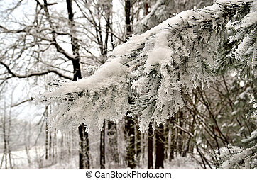 Pine branch covered with hoarfrost on a blurred forest background