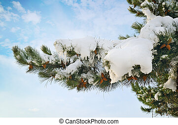 pine branch covered with snow against the blue sky