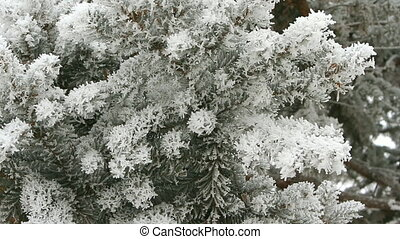 Pine branch covered with snow on a