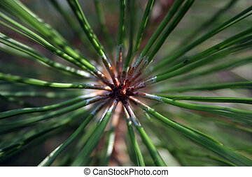 A view of the end of a pine branch, with the needles spreading out in all directions.