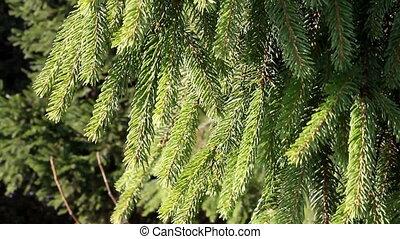 Pine branch, HD