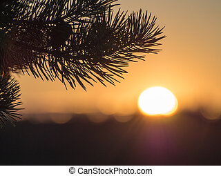pine branch in evening