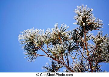 Pine branch in hoarfrost