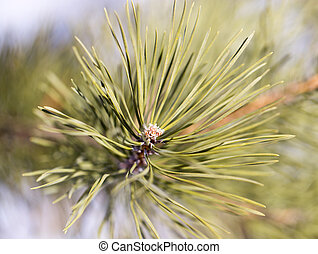 pine branch in nature