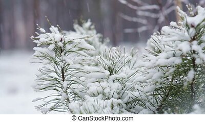 Pine branch in snow. Snowfall in the forest park. Winter...