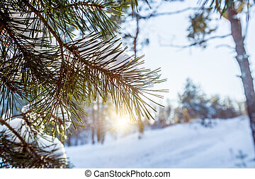 Pine branch in snow. Winter sunset in the forest