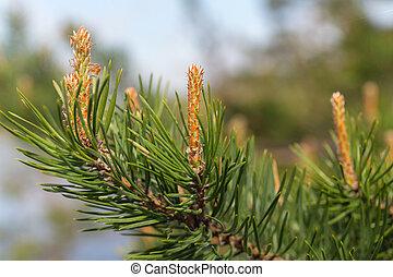 Pine branch in spring