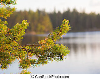 pine branch in the evening