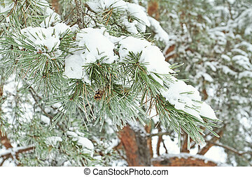 Pine branch in the snow