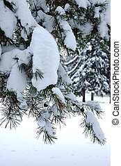 Pine branch in winter forest