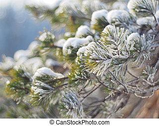pine branch in winter