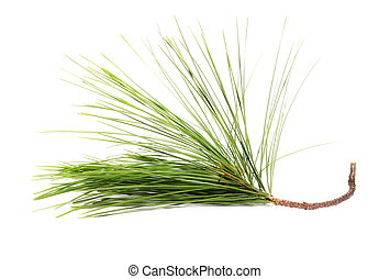 pine branch isolated on white