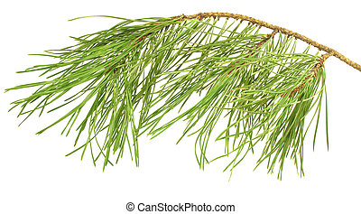 Pine branch isolated on white - pine branch isolated on the...