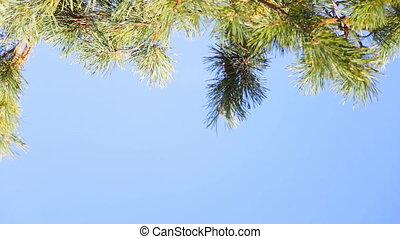 Pine branch on blue sky