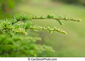 pine branch on blurred background