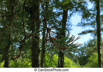 pine branch on the background of a blurred forest