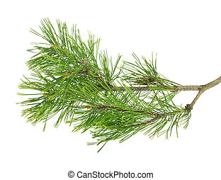 Pine branch on  white isolated background for design