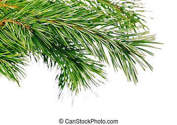Pine branch - Green pine tree branch on white background