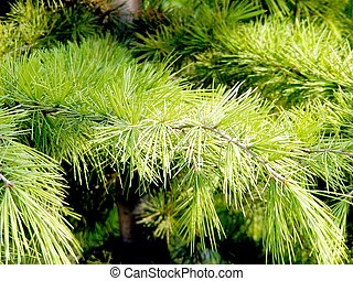 Pine branch with long needles in the sun of the day