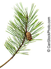 pine  branch - pine branch isolated on white