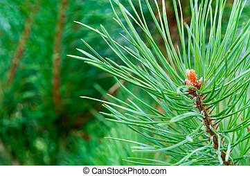 pine branch with bud close up