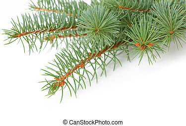 Pine Branch - Group of pine branch isolated on white