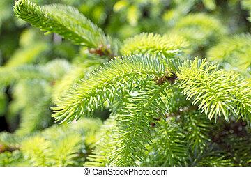 Pine branch - green pine branch
