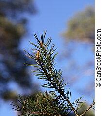 Pine Branch - Pine branch detail