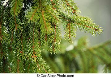 pine branch - beautiful pine branch in drops