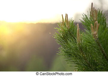 pine branch with buds at sunset