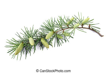 Pine branch with buds