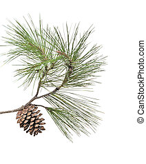 Pine branch with cone isolated on white background