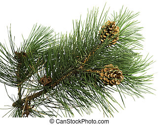 pine branch with cone on a white background