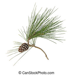Pine branch with cones isolated on white background
