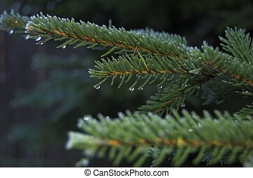Pine Branch with Droplets - A pine branch with freezing...