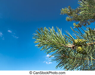 Pine branch with green cones against a blue sky.