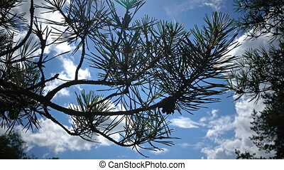 Pine branch with needles and cones against the background of the sky in sunny day
