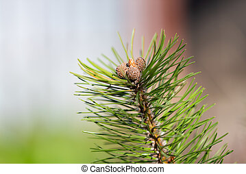 Pine branch with small bumps