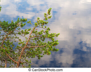 Pine branches against the background of water