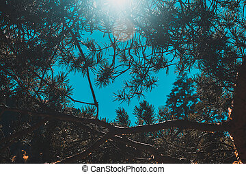 Pine branches against the blue sky, sun rays