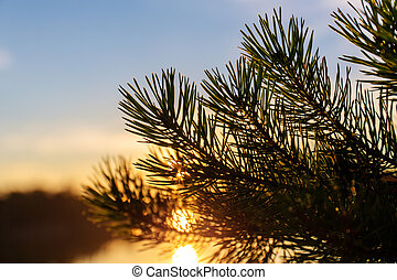 pine branches at sunset